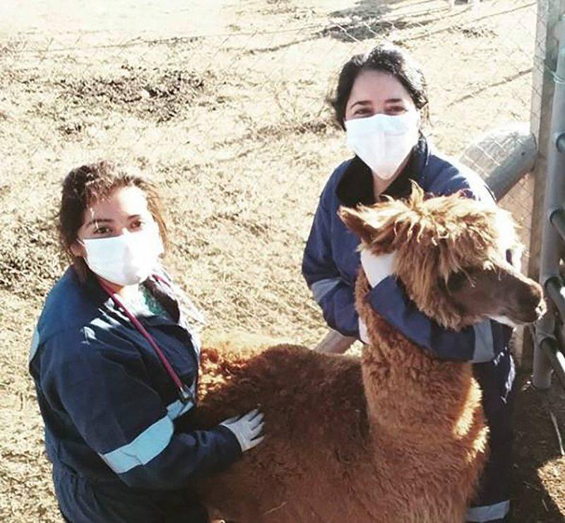 Chilenos encuentran en esta alpaca un superanticuerpo contra el coronavirus