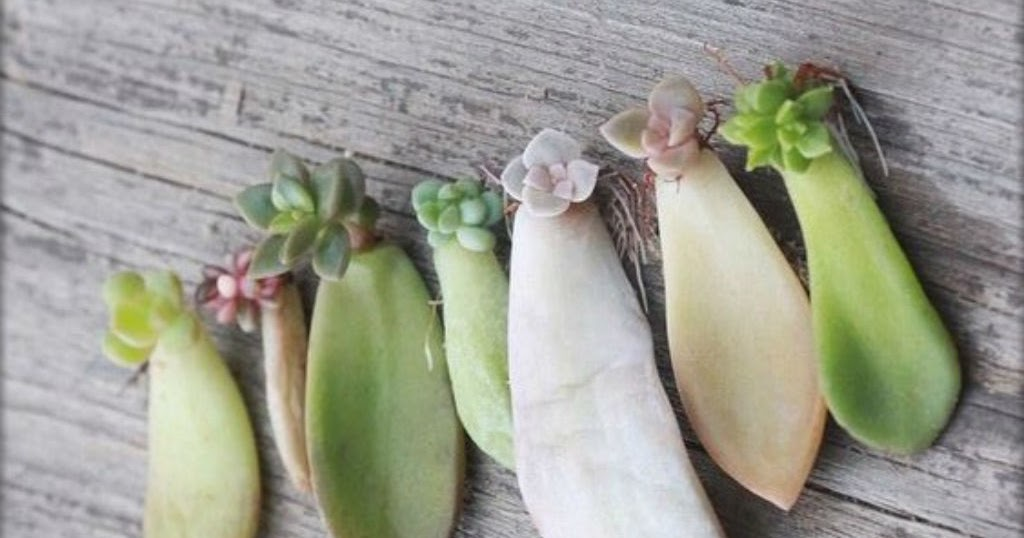 How To Root A Succulent Leaf Cactus Garden