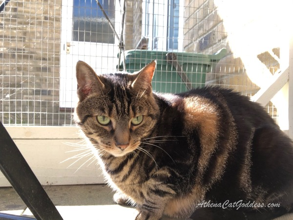 tabby cat enjoying the sunshine in her catio