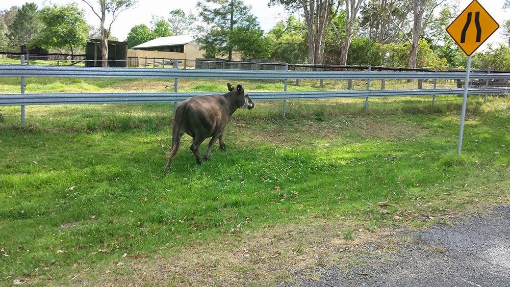 cow on the run in regional NSW
