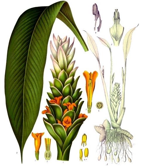 Tumbuhan kunyit klasifikasi ciri ciri manfaat dan kandungan morfologi tumbuhan kunyit photo credit franz eugen khler ccuart Image collections