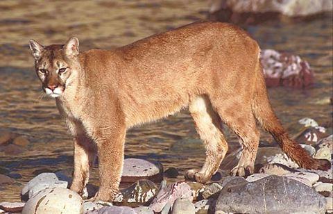 Cougar Puma | Animal Wildlife