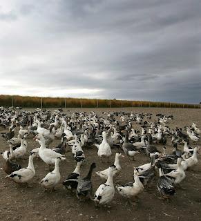 http://www.efeagro.com/noticia/francia-sacrificara-aves-landas-gripe-aviar/