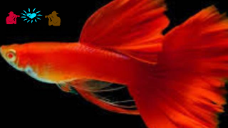 Jenis ikan guppy merah