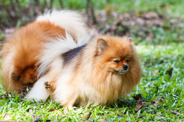A Pomeranian dog peeing on the lawn