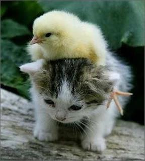anak kucing dan anak ayam