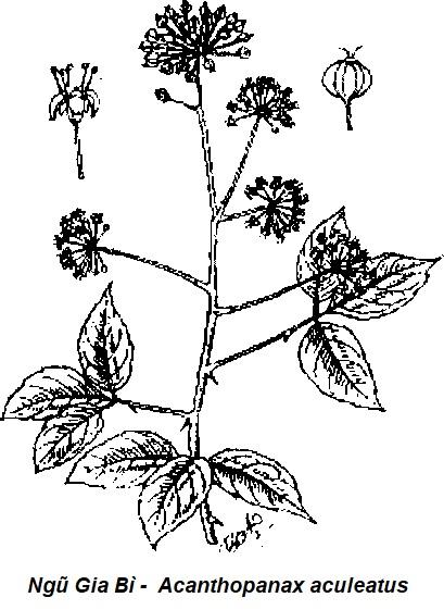 Hình vẽ Ngũ Gia Bì Gai -  Acanthopanax aculeatus - Nguyên liệu làm thuốc Chữa Bệnh Tiêu Hóa