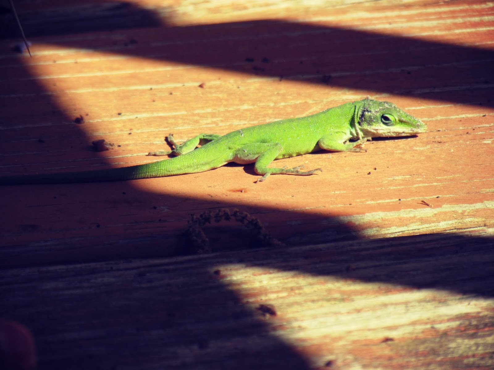 Bee pollen and a green wild lizard sunning on a wooden porch in mother nature on a sunny day in Florida