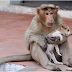 OMG: New Delhi Incredible story of a Monkey that adopted a lost puppy