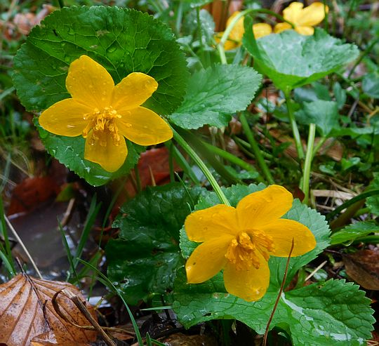 Knieć błotna górska (Caltha palustris L. subsp. laeta (Schott, Nyman & Kotschy) Hegi).