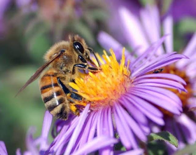 Οι μέλισσες κινδυνεύουν να εξαφανιστούν λόγω του «χάους του κλίματος»