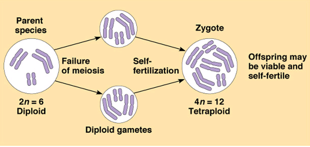 Allopolyploidy and Speciation