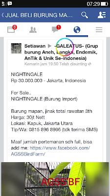 Harga Burung Sikatan Londo (Nightingale) di Indonesia