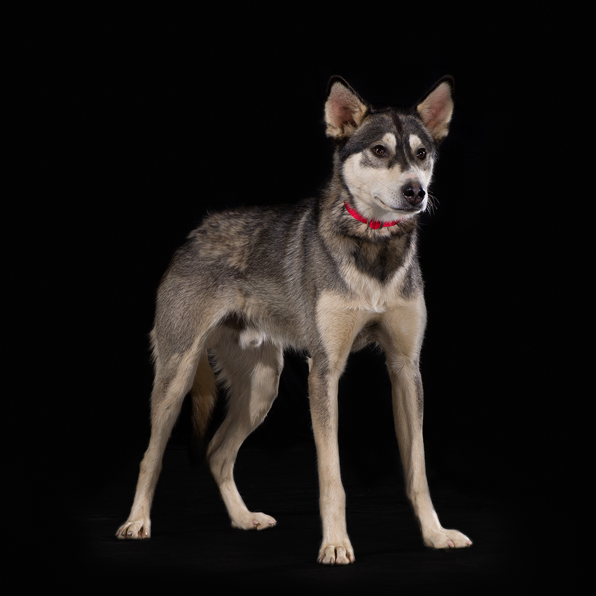 Dog With Fan : Dog fan club draws waylon jefe and mismo sp kennel