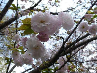 寝屋川公園の桜 ガゼボの丘 八重桜