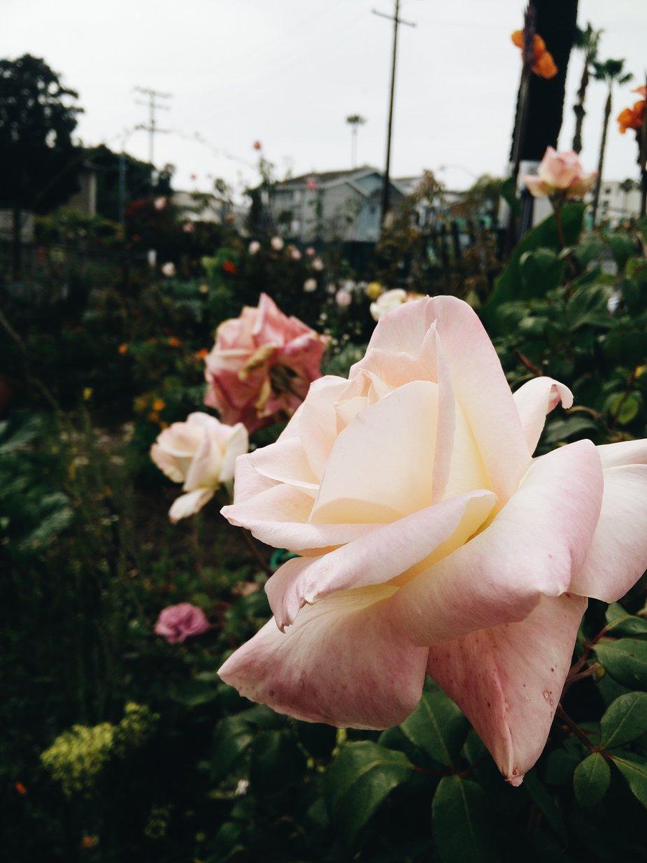 Beautiful Flower For Wallpaper
