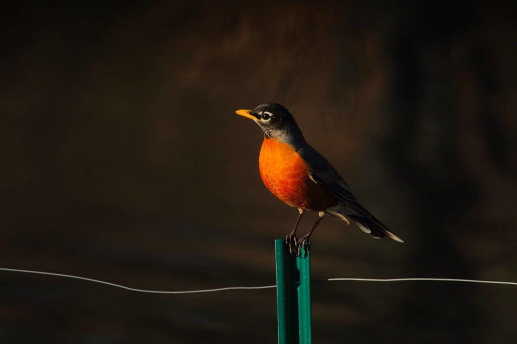 The American Robin (Turdus migratorius)