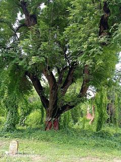 वह इमली का पेड़