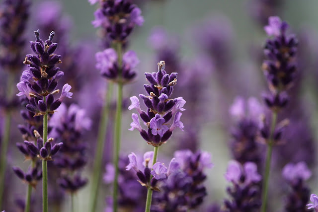 Making Essence Of Lavender Scent At Home | Time Honored Tips