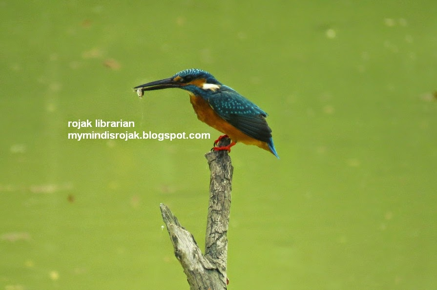 Common Kingfisher in Tampines Eco Green