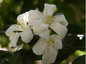 Tumbuhan Bunga kemuning dan Cara Tanamnya