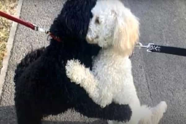 Strangers' Pets Take To Each Other For A Brother or sister Hug While Out Walking