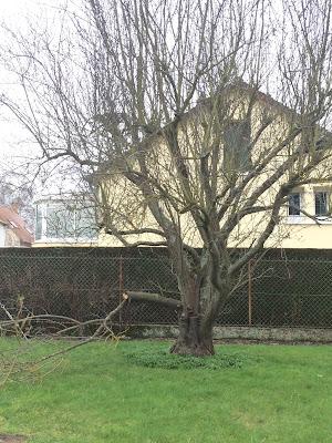 Prunus Pissardii- HGP.Paysage