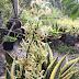 Berbunga Rupanya Snake Plant