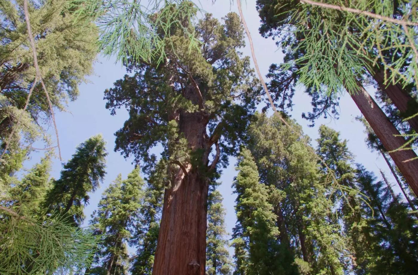 Oldest Living Trees, General Sherman
