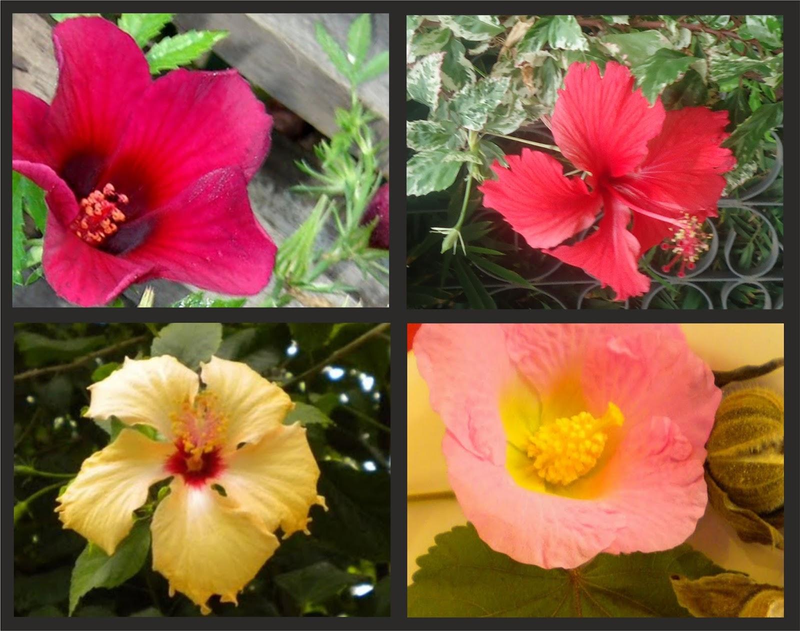 V e r d e c h a c o hibiscos 1 for Hibiscus arbol