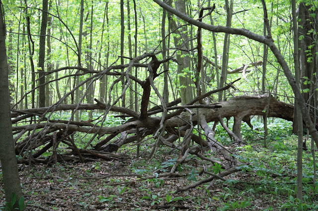 Downed tree in the woods