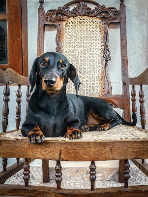 A brown and tan Dachshund is sitting in a wooden chair looking at the camera
