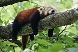 napping red panda