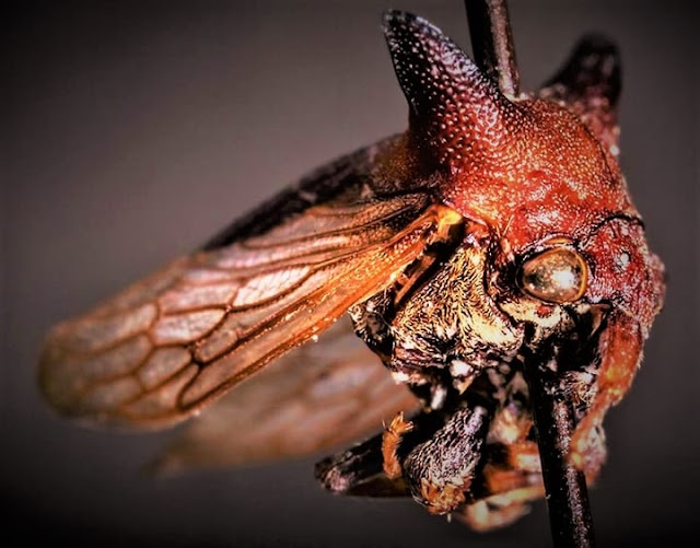 Picture of an insect. The insect is named after singer Lady Gaga.