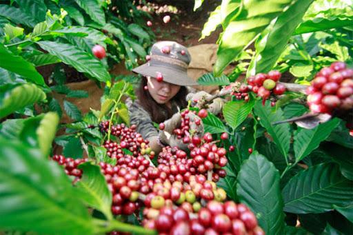 Giá cà phê hôm nay 17/7: Quay đầu tăng 100 đồng/kg