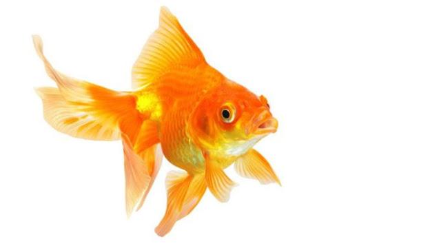 Dunia Ikan Hias - Gold Fish
