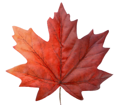 A Canadian leaf with transparent background.