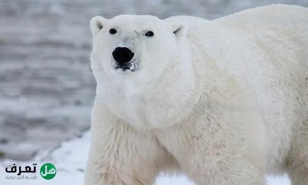 معلومات عن الدب القطبي بالعربي