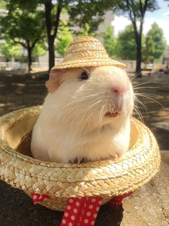Cavia met hoed