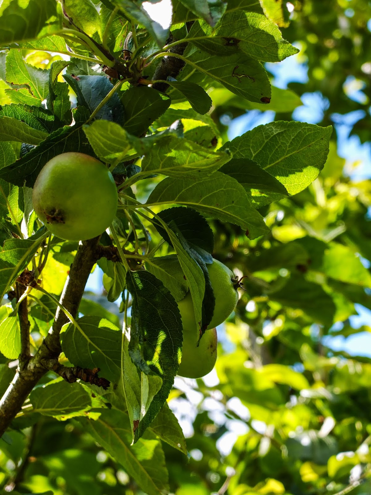 Apple hanging up in a tree.