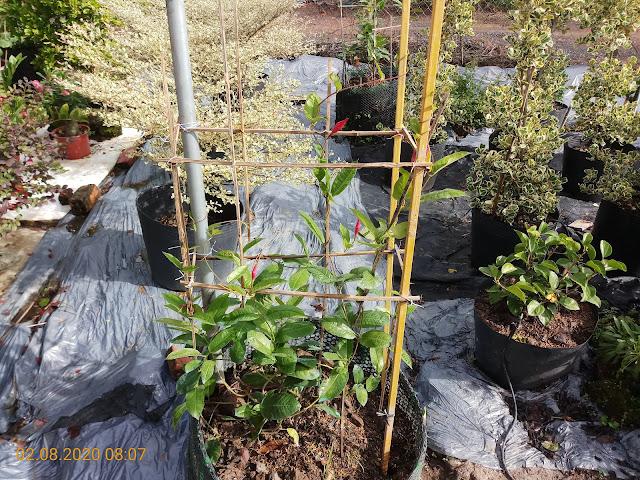 Cây huỳnh anh đỏ mỗi ngày phát triển chiều dài nhánh khoảng 2-3cm.