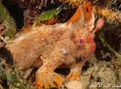 أغرب المخلوقات البحرية ، سمكة اليد الأحمر