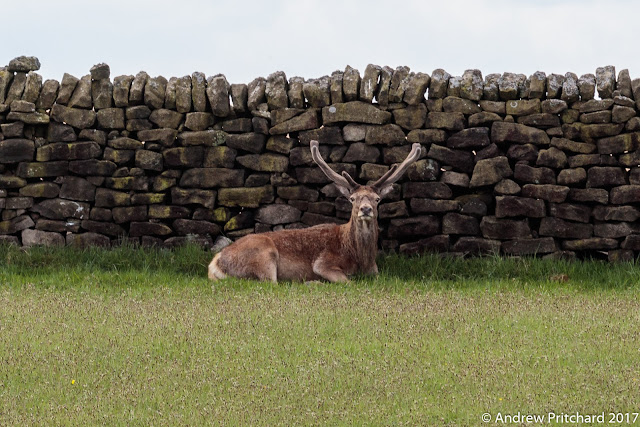 A stag doing nothing but grow his antlers in the lee of a dry stone wall.