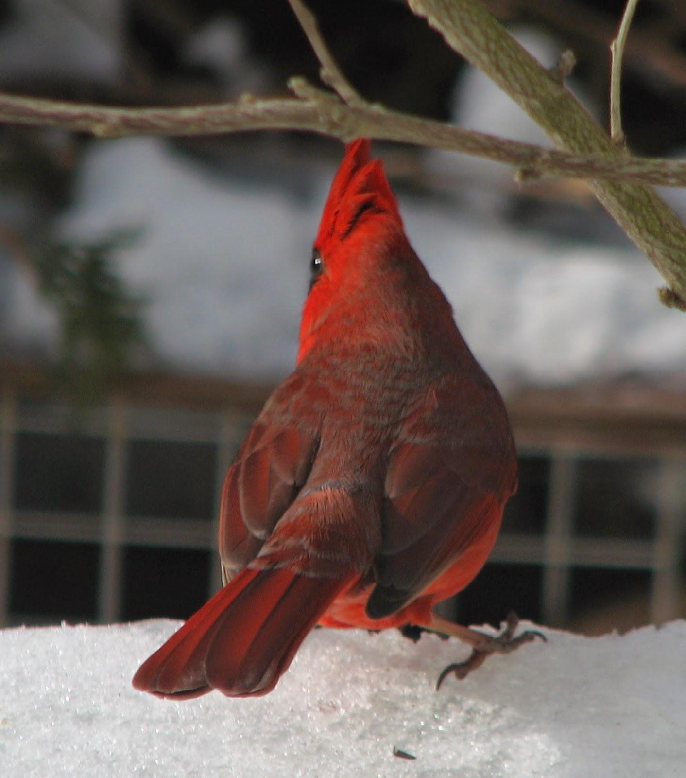 South Burlington Birds Northern Cardinal Photos South