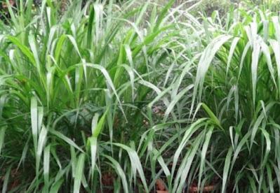 rumput taiwan madani farm