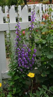 Adenophora para vallas de jardines