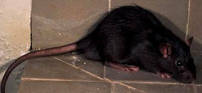 Foto de una rata de perfil de color negro