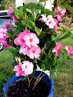 mandevilla, tender, tropical, pink