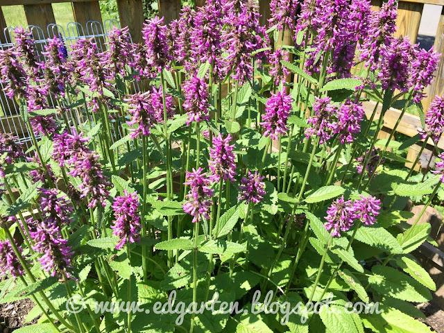 Violett blühender Ziest