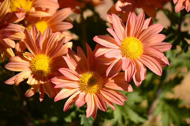chrysanthemums, amy myers, small sunny garden, desert garden, photography